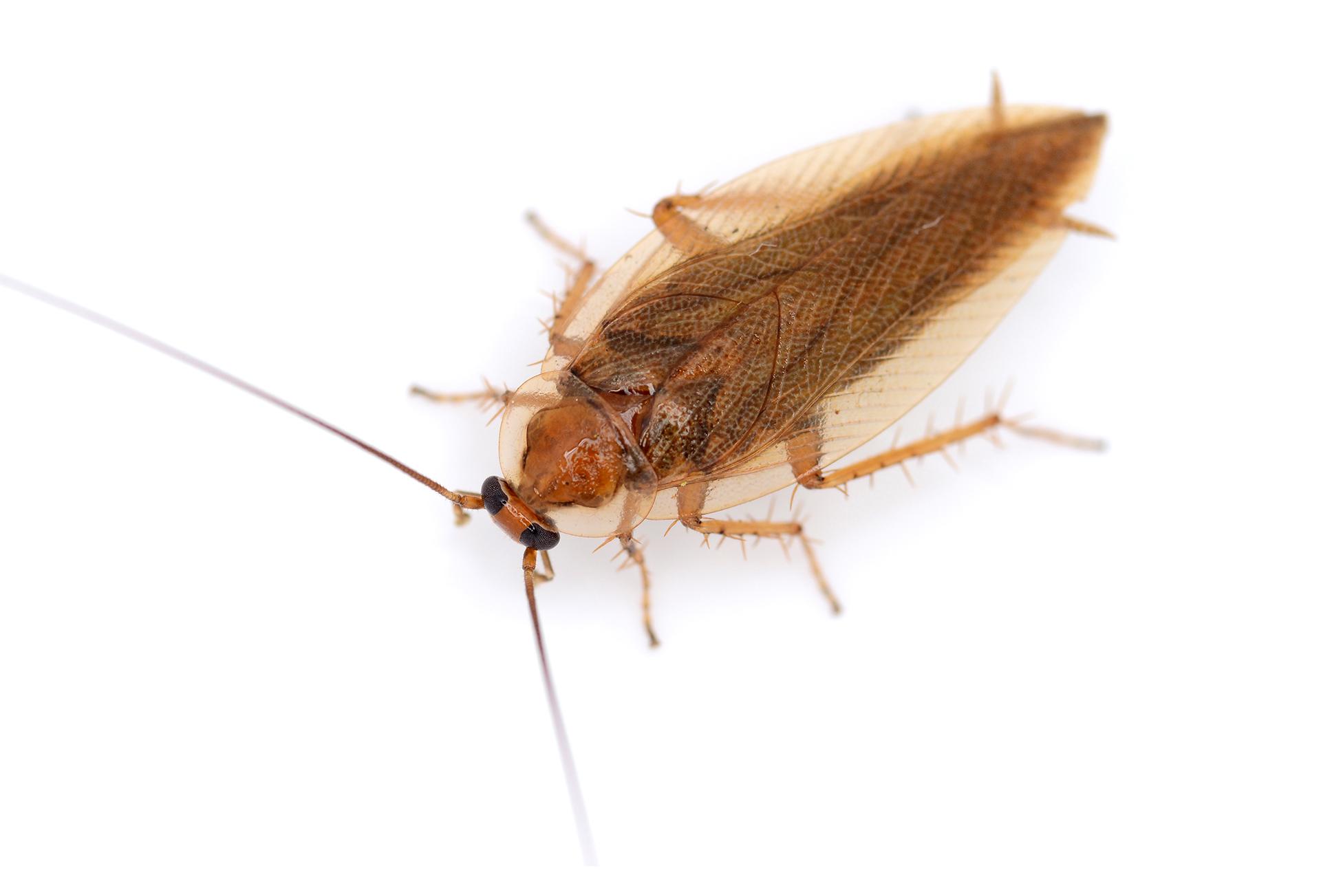 Cómo evitar Cucarachas