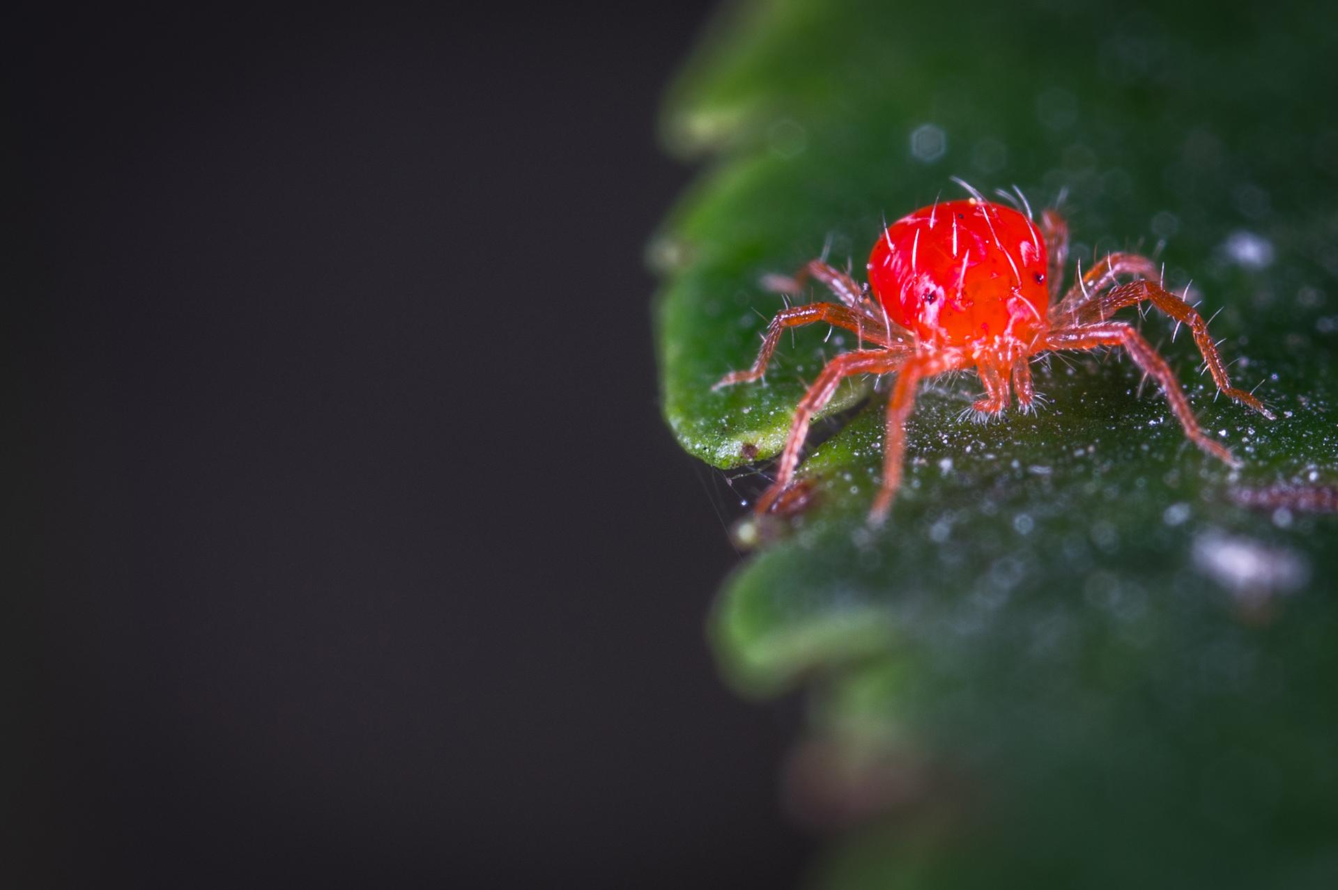 Control de Plagas Araña Roja