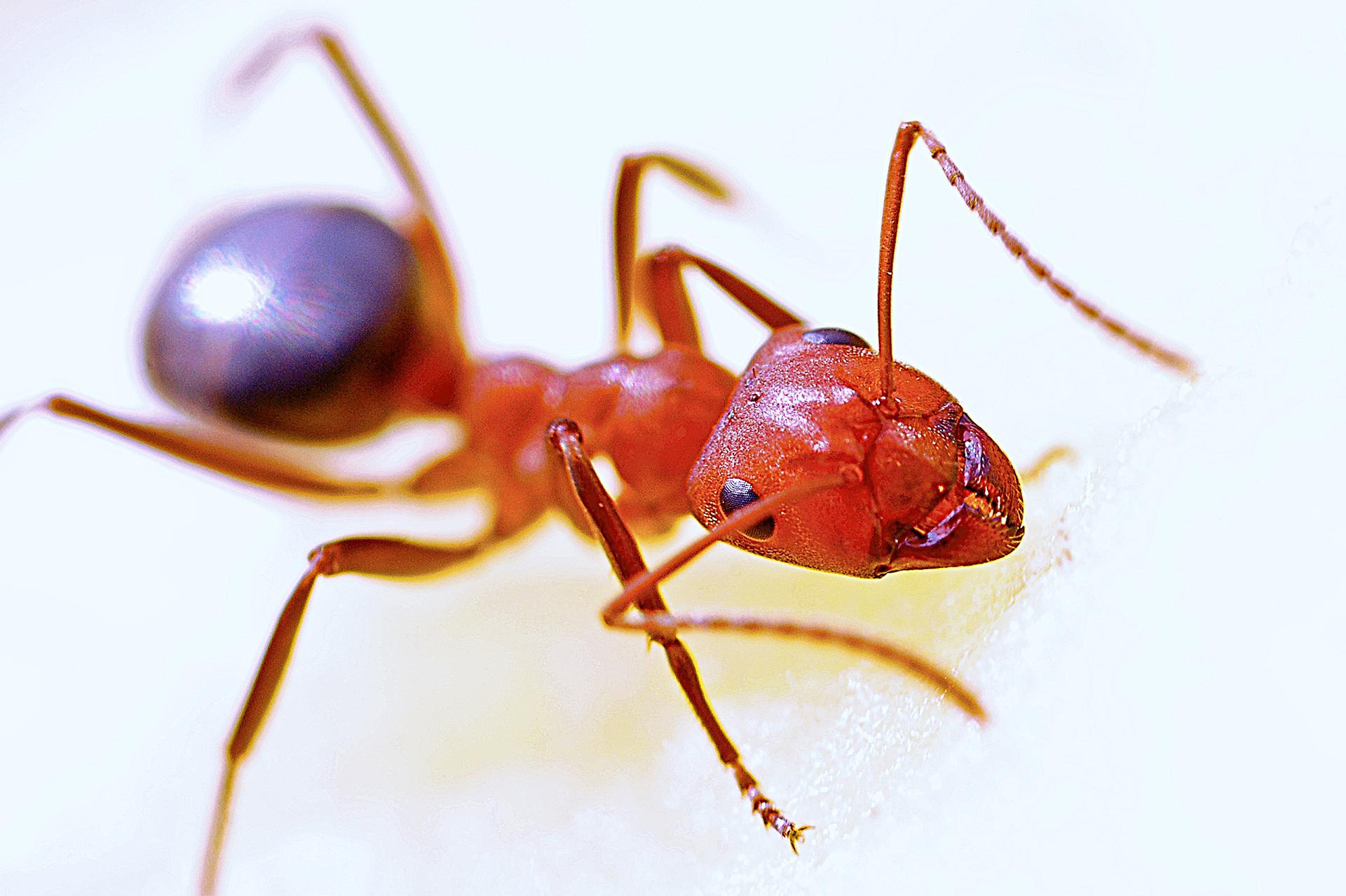 Control de Plagas Hormigas