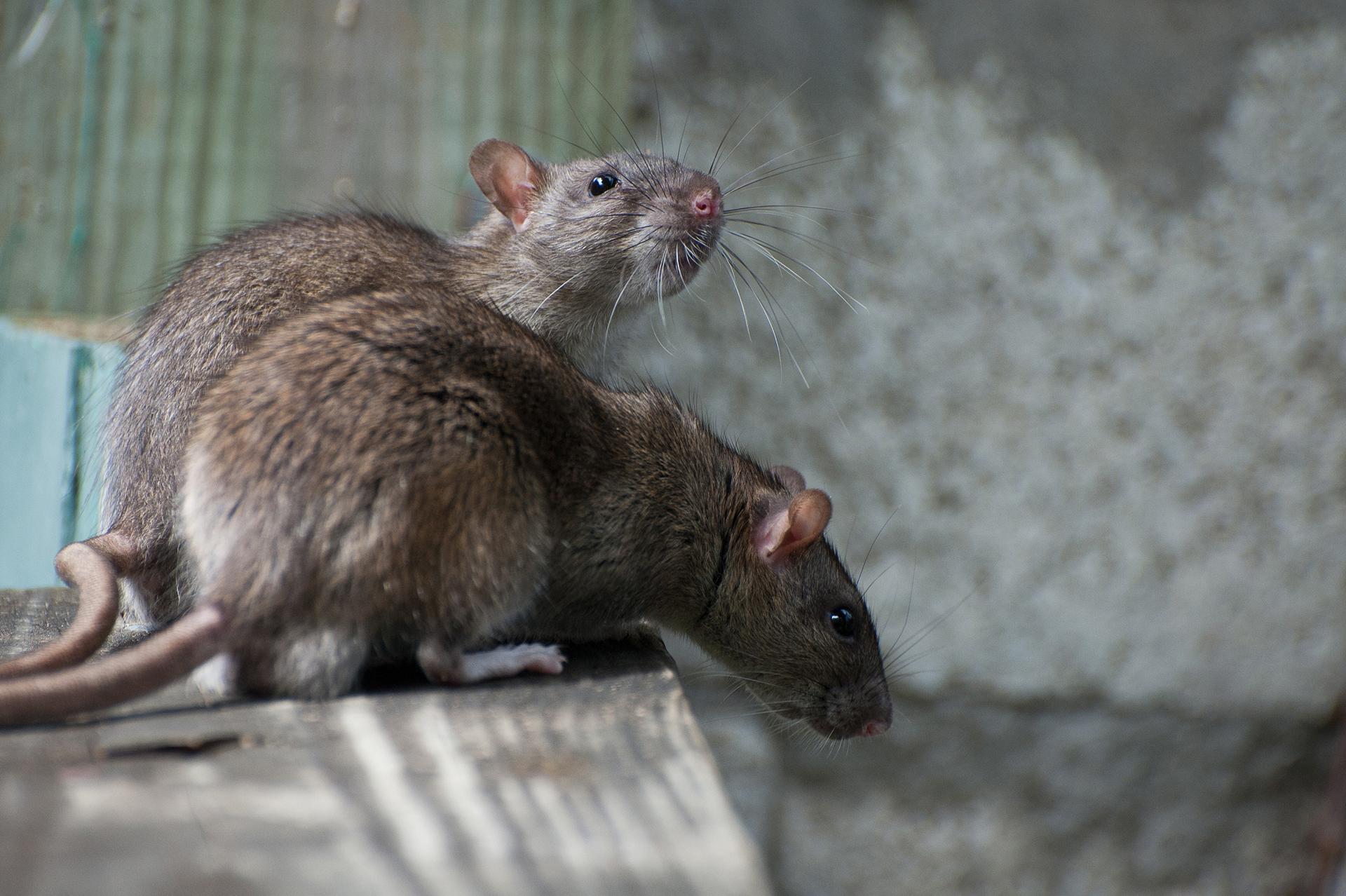 Control de Plagas Ratas en Madrid