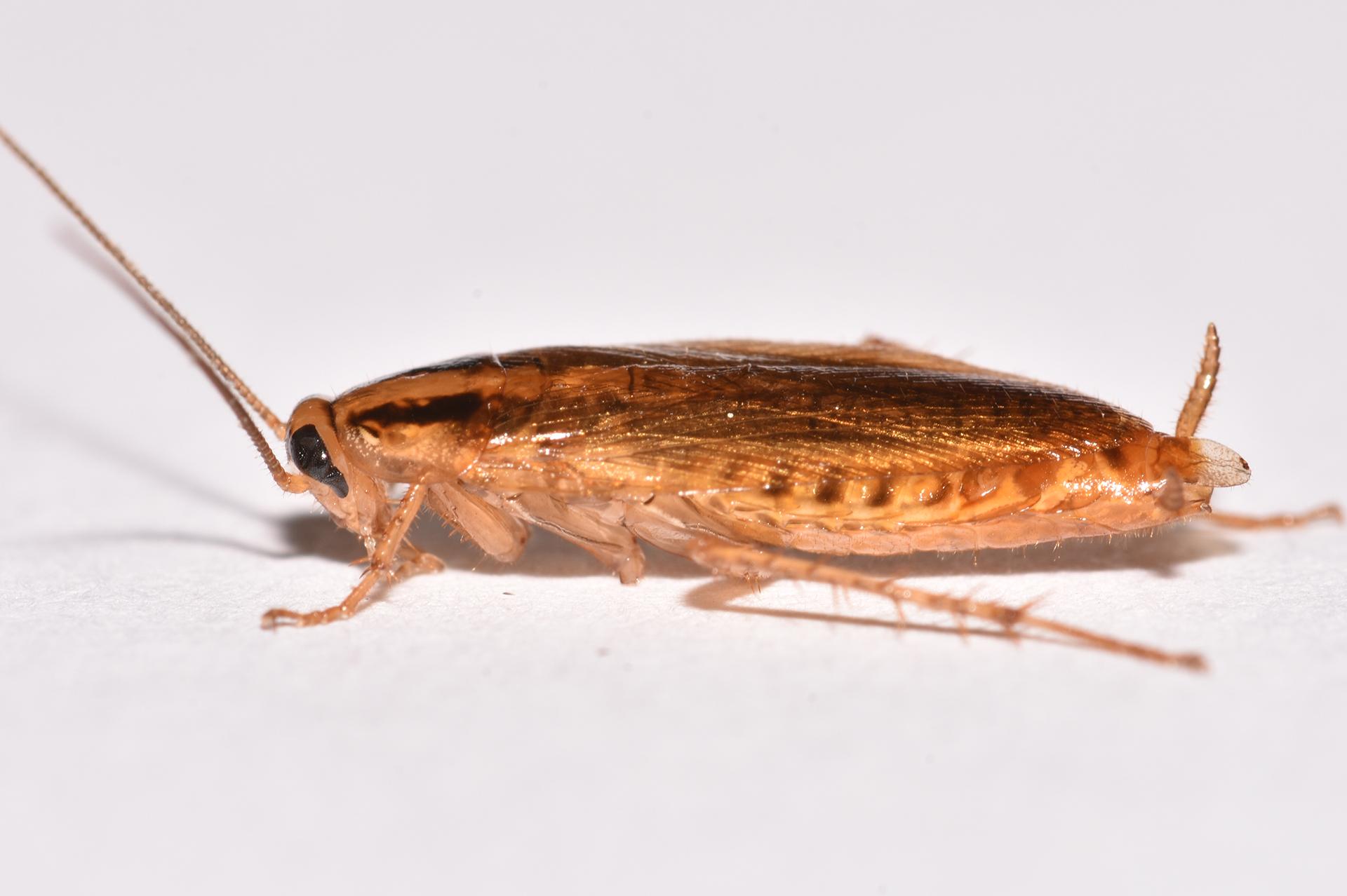 Cucarachas Alemanas