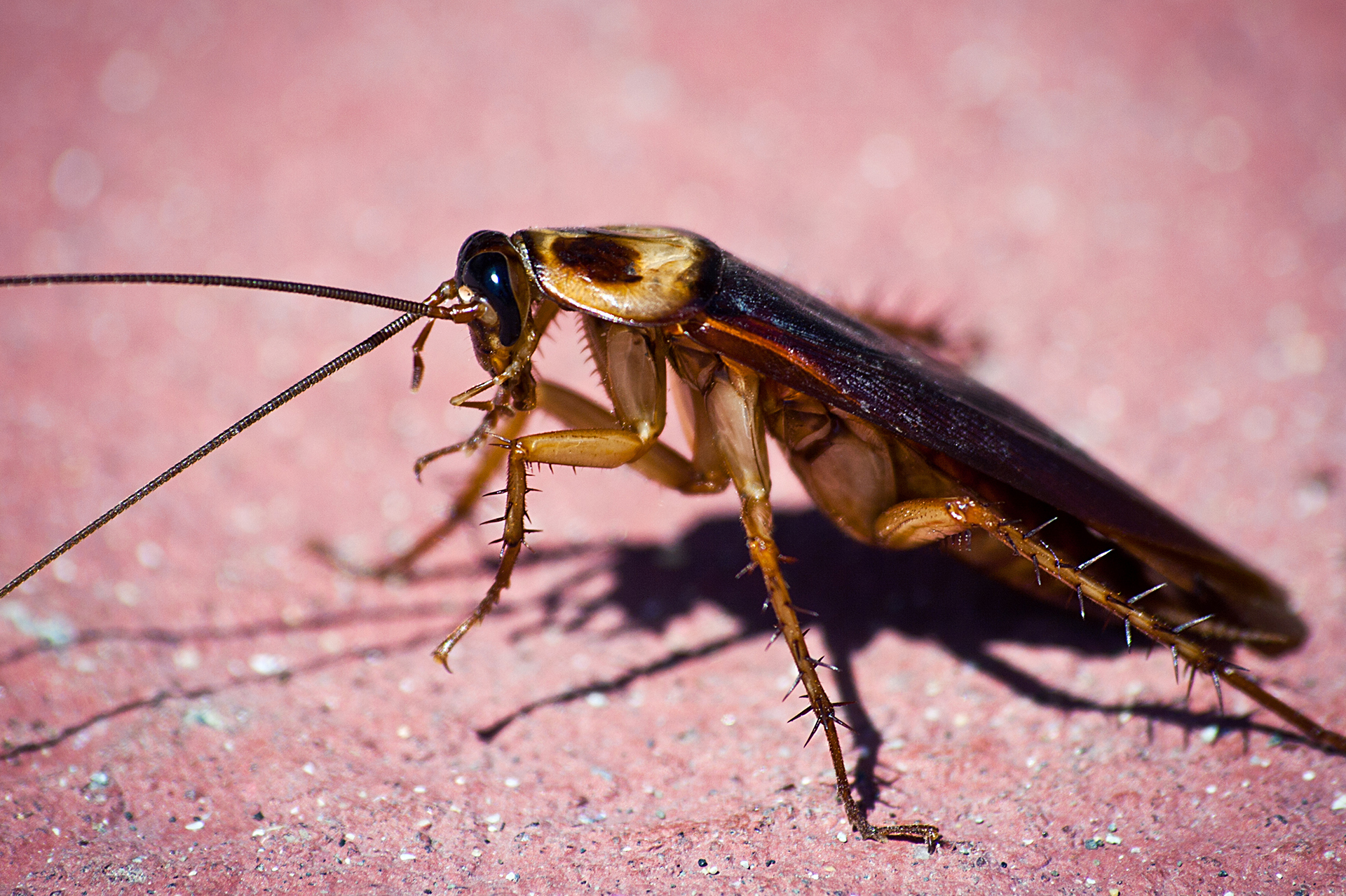 Cucarachas Americanas
