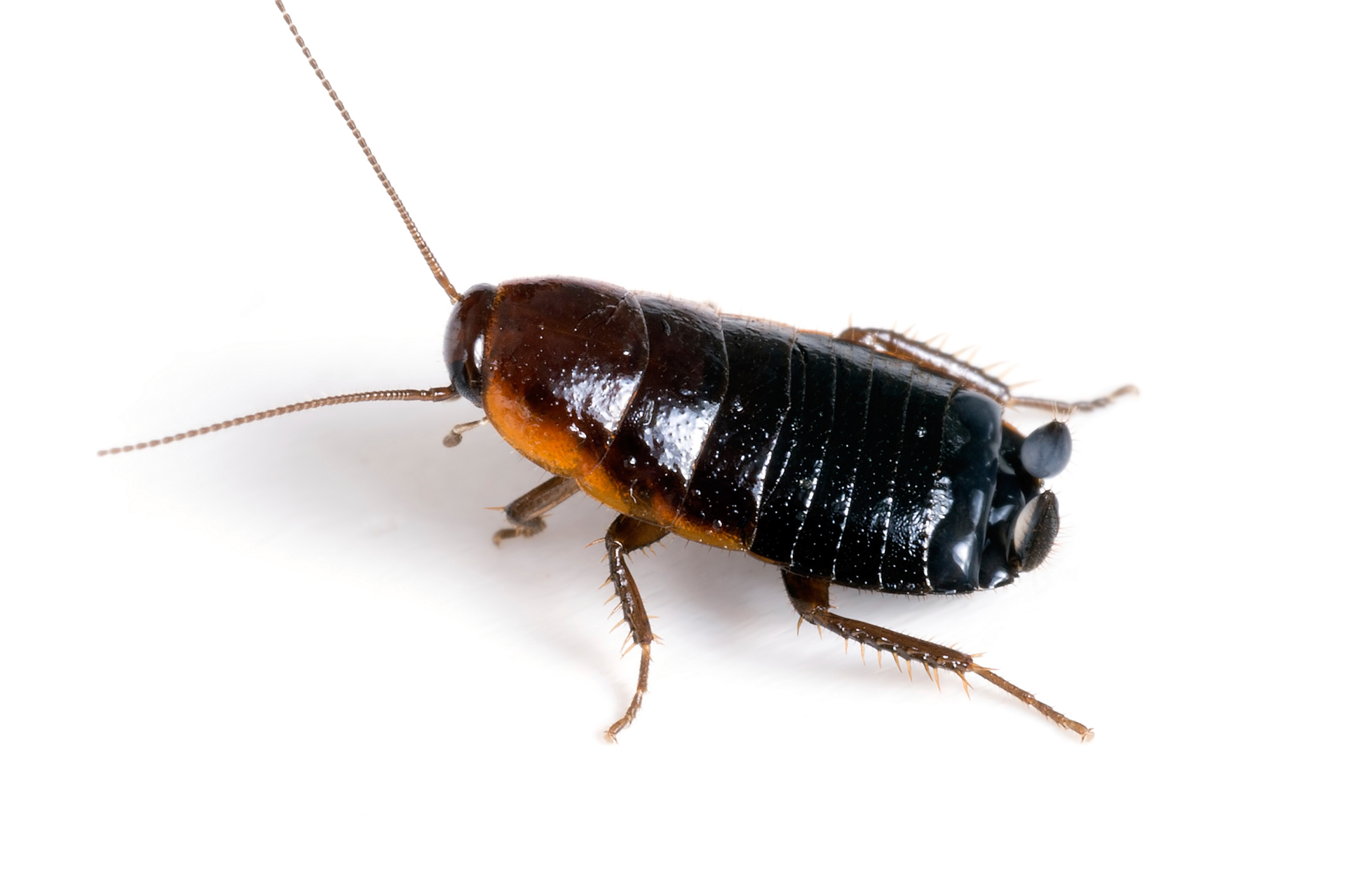 Cucarachas Orientales