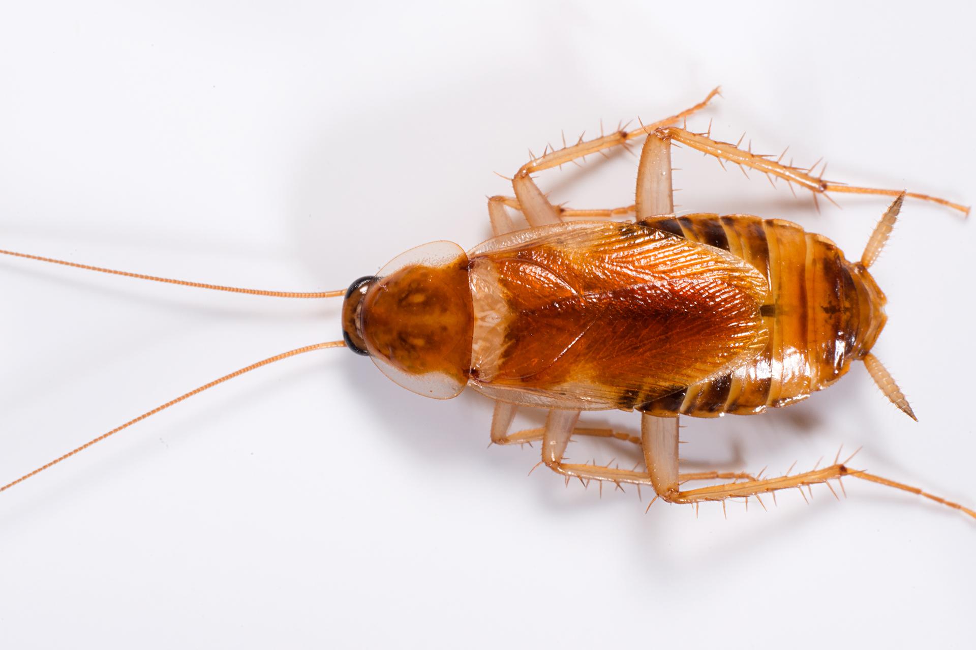 Cucarachas como eliminarlas