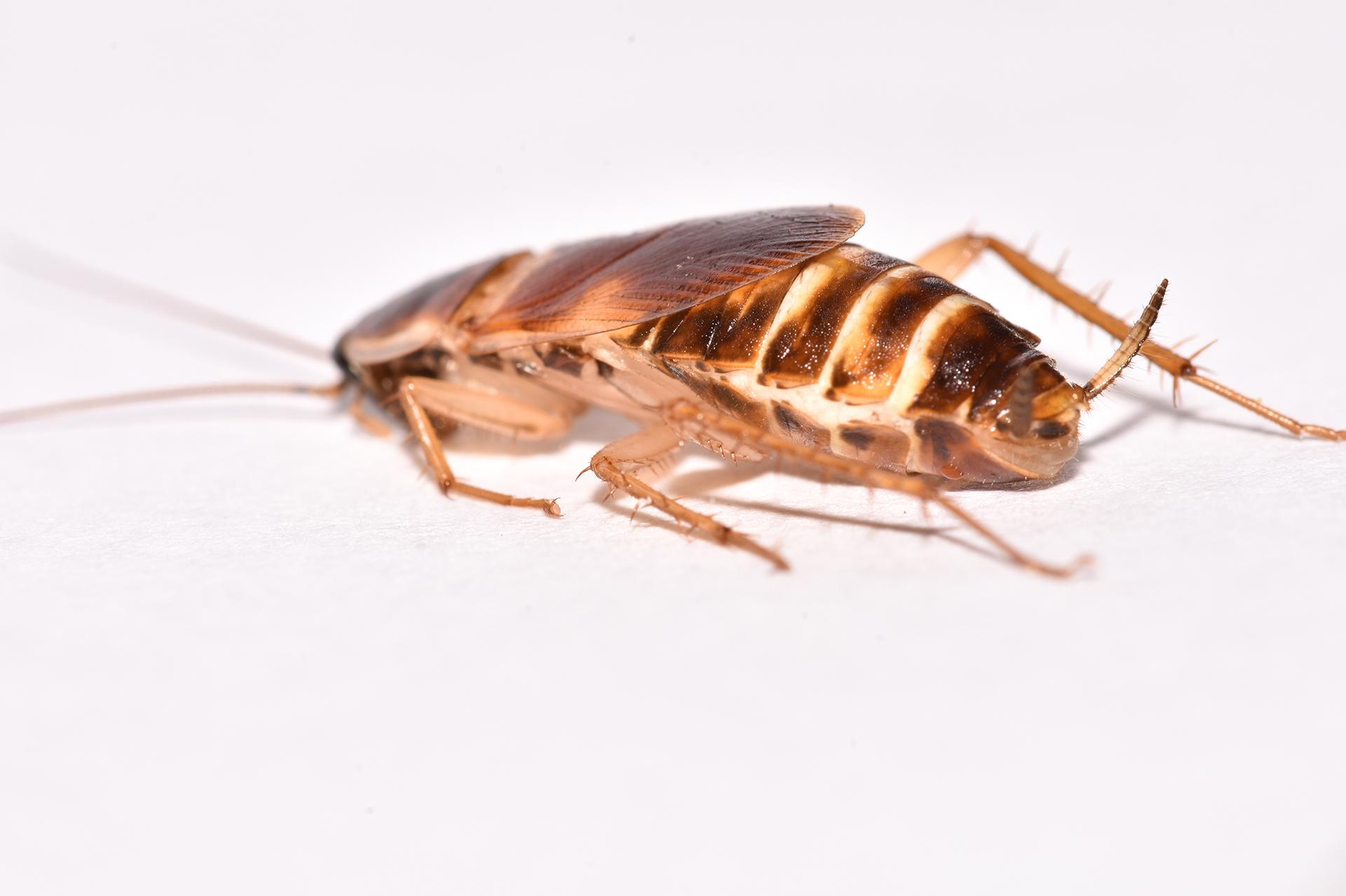 Cucarachas con Banda Marrón
