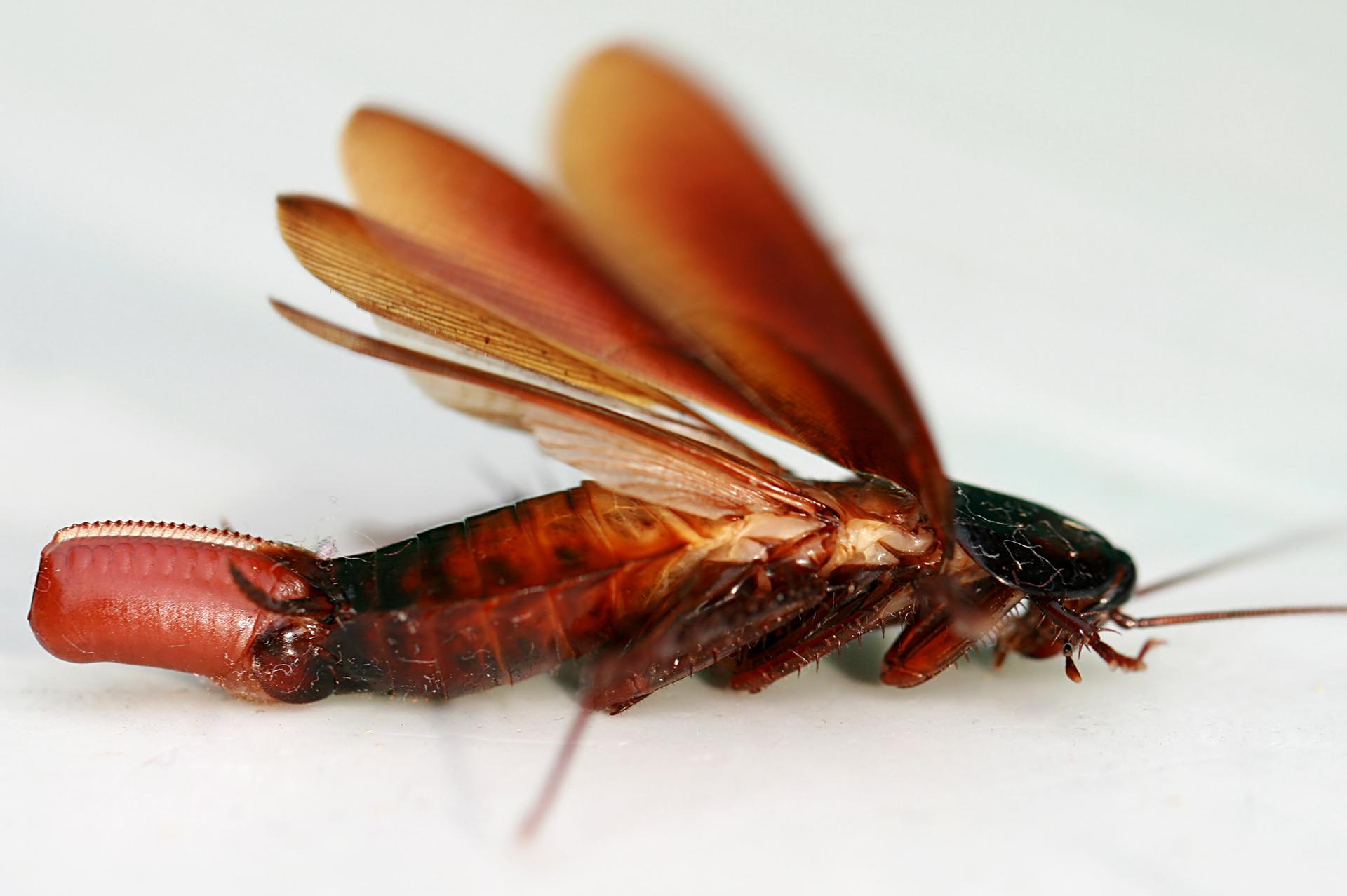 Qué tipo de Cucaracha tengo