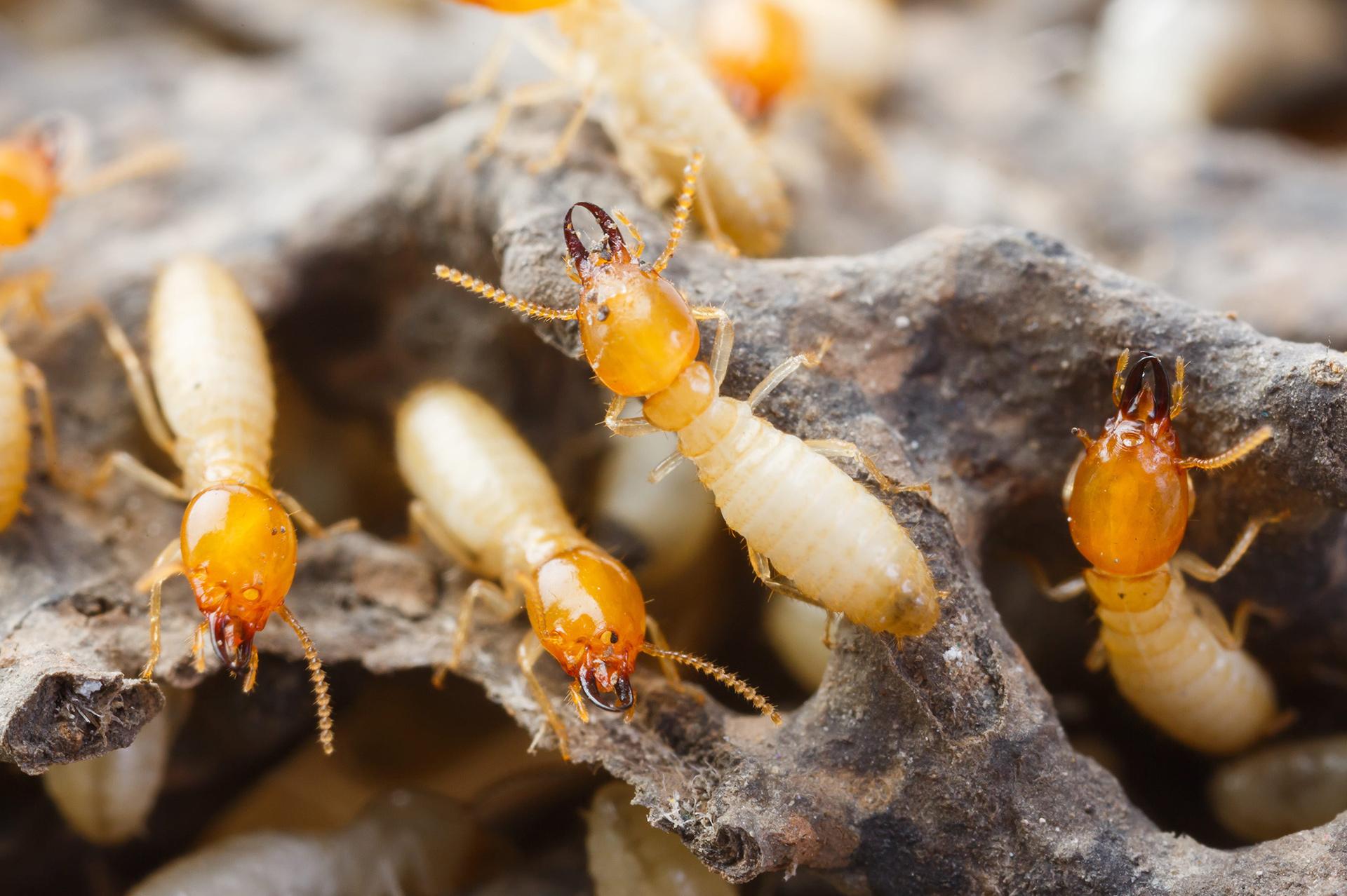 Plaga de Termitas en Casa