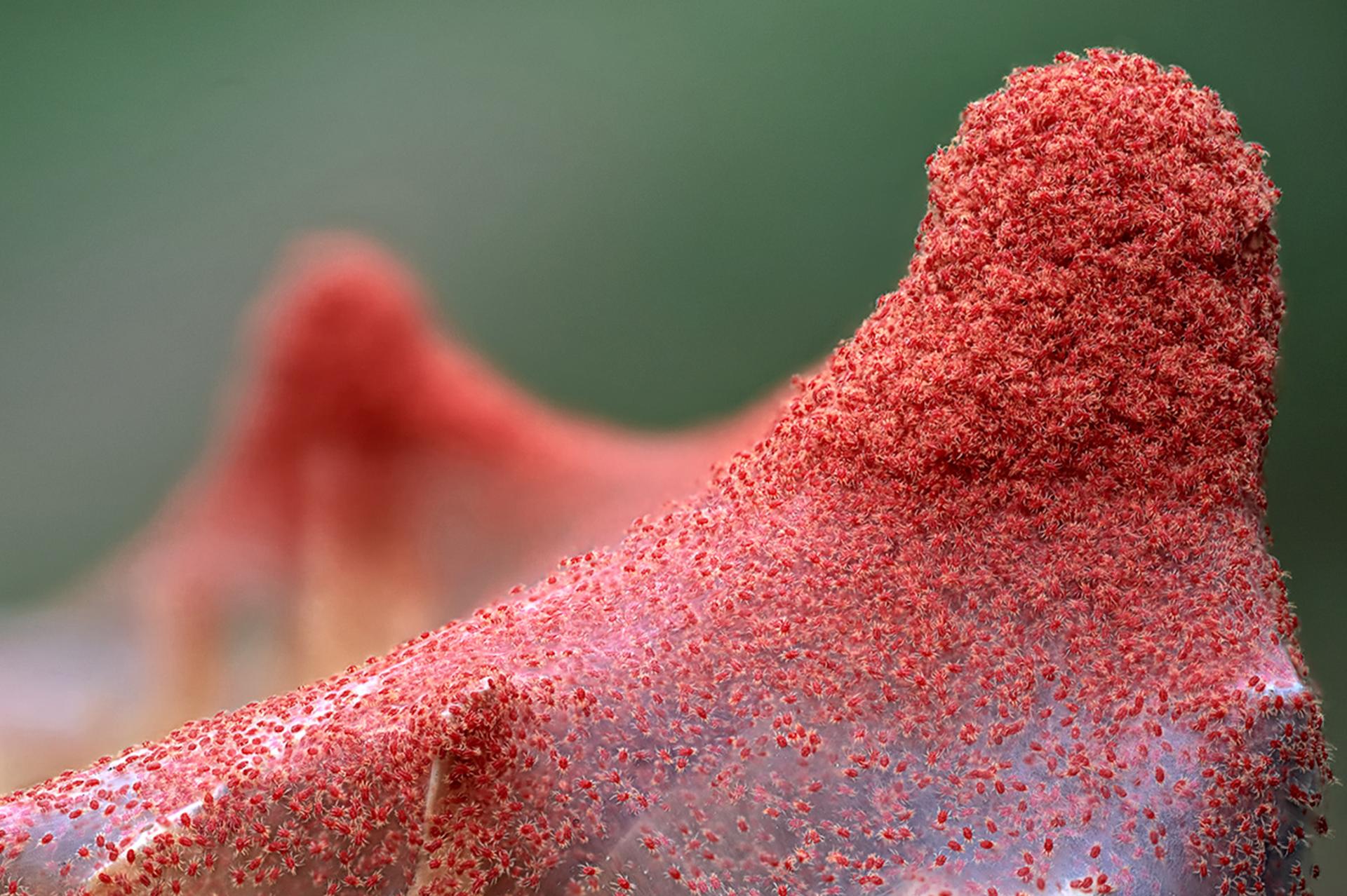 Plagas de Arañas Rojas
