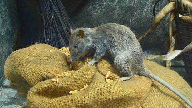 Rata Comiendo