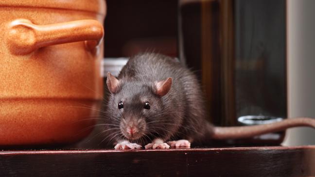 Ratas en Casa