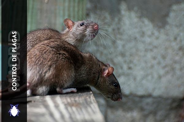 Control de Plagas Madrid Ratas
