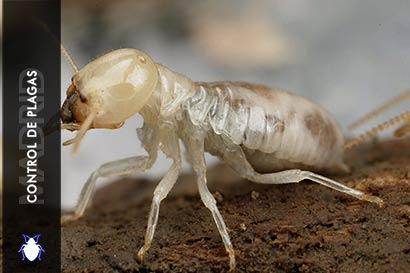 Control de Plagas Madrid ¿Como eliminar termitas?